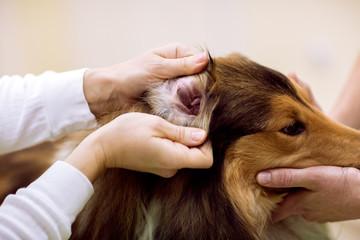 Veterinarian check dog's ear at pet clinic