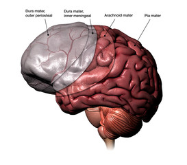 Human Brain Revealing Meninges Layers with Labels