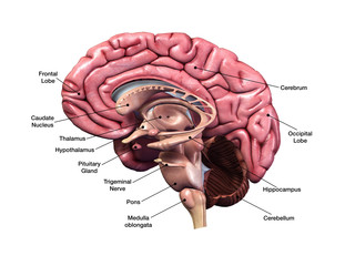 Human Brain Sagittal Section with Labels