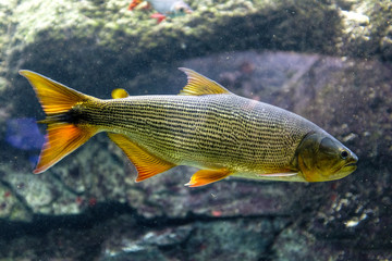 Tropical sweet water fish Brazilian Dorado, known also as Golden Dorado, River Tiger or Jaw Characin in tropical aquarium in a zoological facility