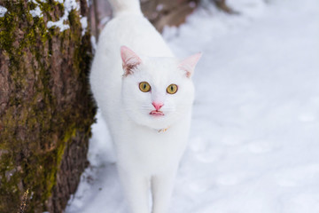 White cat on snow background looking at the camera