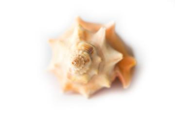 Single isolated seashell on white background