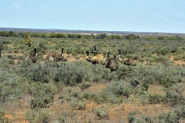 Australia, NSW, free living Emu birds