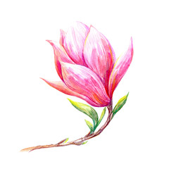 Magnolia branch on a white background.Spring blooming flower.Watercolor hand drawn illustration.