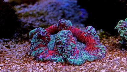 Open brain coral in aquarium reef tank