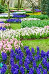 Group of beautiful  hyacinths in the beautiful garden of Keukenhof, Netherlands.
