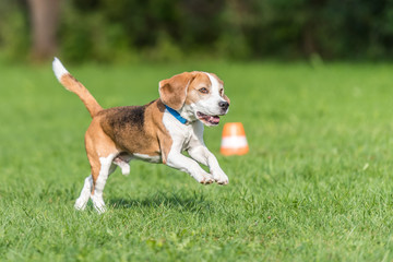 Cute beagle dog running ober the meadow