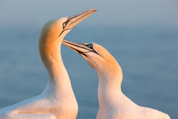 Mating Northern gannets in breeding colony at cliffs of Helgoland island, Germany