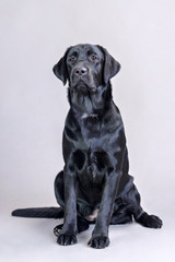 black labrador on a gray background