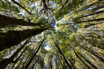 Looking up into the trees of a red beech (Nothofagus fusca) forest Fiordland National Park, New Zealand