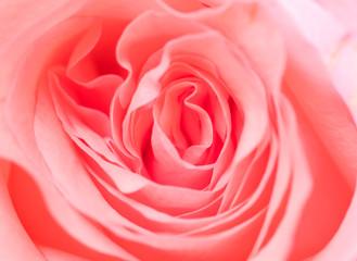 Pink rose flower texture