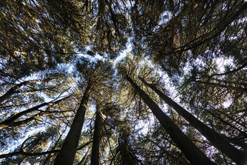 Looking up into the trees of a cyprus forest Otago Peninsula, New Zealand
