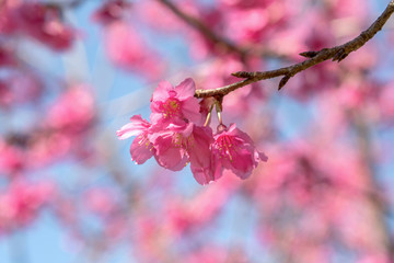 Spring Pink Cherry Blossoms or Sakura with blurred background