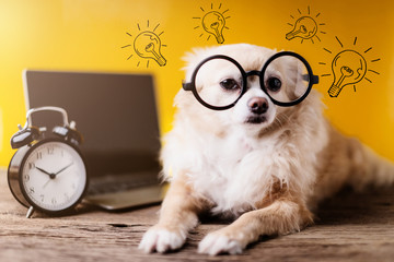 cute chihuahua brown color dog wear black round glasses with laptop and black alarmclock on yellow background working concept