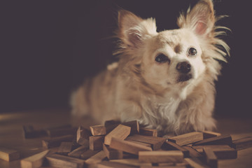 sleepy brown cute chihuahua dog on table with heap of wooden block toy