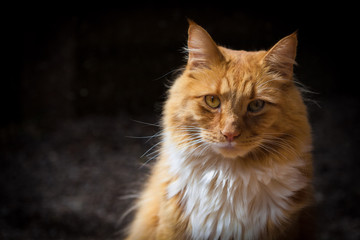Ginger cat looking straight at you portrait