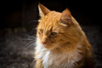 Ginger cat portrait closeup