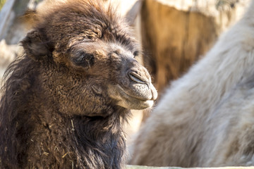 Close up of a camel chewing