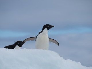Two Adelie Penguins Facing Right. They are standing atop an iceberg in the Southern Ocean in Antarctica.