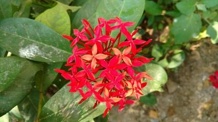 saraca indica, Ashoka closeup