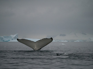 Humpback Tail Fluke photographed as the whale dove into Wilhelmina Bay in Antarctica.