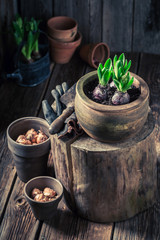 Closeup of freshly grown spring flowers in clay pots