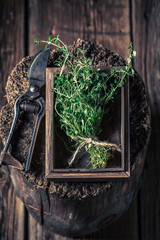 Closeup of thyme with old garden pruning scissors