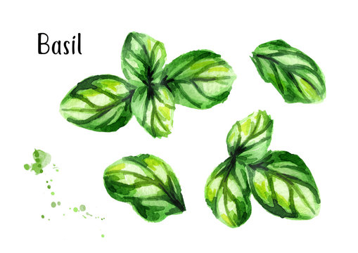 Basil set. Watercolor hand drawn illustration, isolated on white background