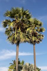 Beautiful palm trees. Phuket in Thailand.