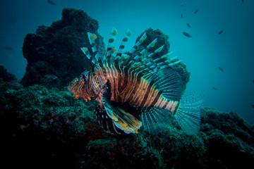 Lion fish oman hallanyiat island