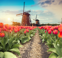 In de dag Zalm Vibrant pink tulips with Dutch windmills along a canal, Netherlands