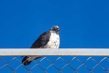 Голубь сидит на железном заборе на фоне синего неба