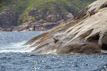 Two seals resting on the ahore rocks at wilsons promontory national park