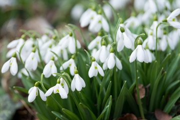 white snowdrop flowers in spring