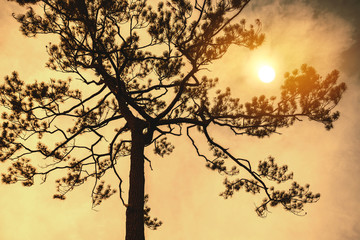 Natural background Pine black shadow. The backdrop is  sky sunset yellow gold. Thailand.