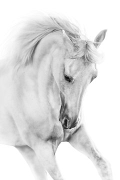 White horse close up in motion  portrait on white background