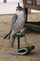 Arabian falcon with head cover