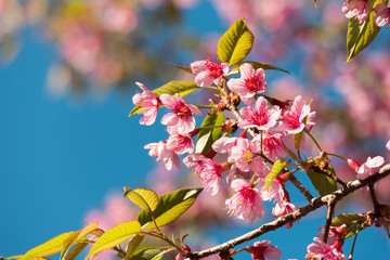 wild himalayan cherry, Prunus Cerasoides tree in Thailand.