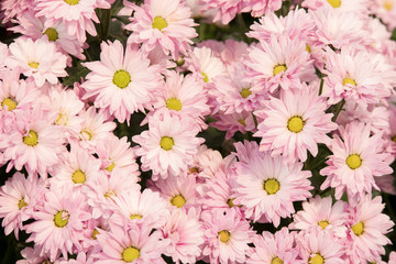 Beautiful pink chrysanthemum (Dendranthemum grandifflora) flower for nature background.