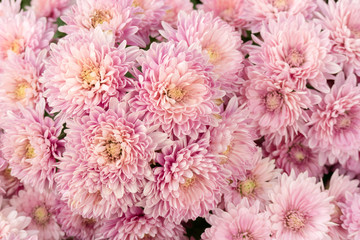 Beautiful pink chrysanthemum flower for nature background.