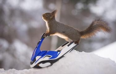Red squirrel balancing on  a water scooter