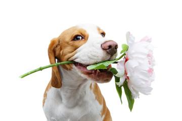 beautiful beagle dog with flower