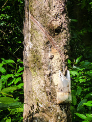 Rubber latex being extracted from a rubber tree (Hevea Brasiliensis) with a plastic bag on Koh Bulon, Thailand - island in the Andaman sea