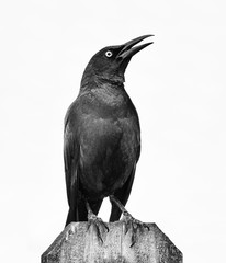 American crow standing on a wood fence and looking upward in black and white