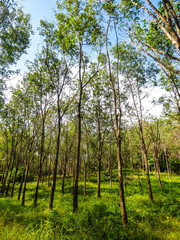 Rubber tree (Hevea Brasiliensis) plantation for extraction of rubber latex on Koh Bulon, Thailand - island in the Andaman sea