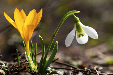 Beautiful spring flowers - snowdrop and yellow crocus closeup