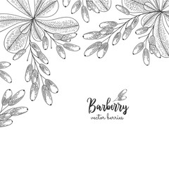 Hand drawn illustration of wild barberry isolated on white background. Berries engraved style illustration. Detailed frame with berries. Applicable for menu, flyer, label, poster, print, packaging