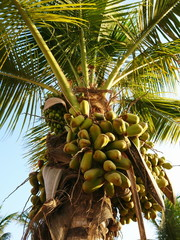 Fresh green coconuts fruit on a palm tree