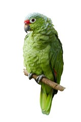 Isolated on white background, vertical photo of wild Crimson-fronted or Finsch's Parakeet, neotropical  green parrot with red cap, natural to Nicaragua, Costa Rica and western Panama.