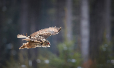 Panoramic photo of nocturnal bird of prey, Eagle owl, Bubo bubo, giant owl flying in winter european forest. Owl with bright orange eyes. Side view, winter forest with snow flakes. Czech highlands.